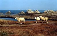 moutons-a-ouessant