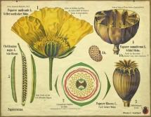 pavot-botanique